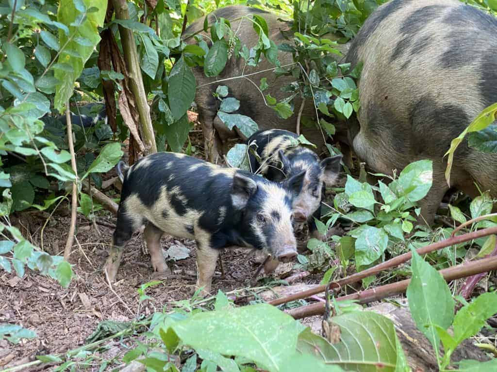 baby Ossabaw piglet. pastured pigs